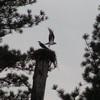 Pair_osprey