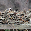 Screenshot_(92)female_in_nest