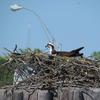 Ferryosprey