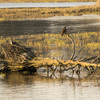 Osprey_pair_on_log_by_old_duck_blind_4-6-18_3y4a8366