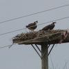 Osprey_on_nest_04_12_2012