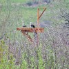 Osprey_pair_new_platform_3_30_18