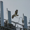 53337_osprey_nest_cell_tower