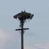 53282_osprey_nests_platform