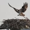 Osprey_lynnhaven_survey_2018_552