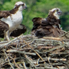Osprey_pair_hatchlings_possible