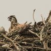 Caladium_nest_6983_one_chick_and_mom_2_05182018