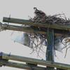 Osprey_nest_trant_baseball_field_018