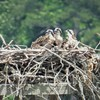 Three_osprey_young_queen's_lake_marina