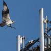 Osprey_nest_building