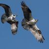 Osprey_scuffle