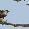 Nest_6983_immature_osprey_1b_06232018