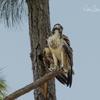Nest_6983_immature_osprey_2_06232018
