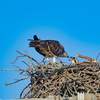 Sunrise_ospreys-3638