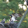 Sunrise_ospreys-3337
