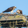 Sunrise_ospreys-3425