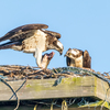 Sunrise_ospreys-3439