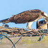 Sunrise_ospreys-3452