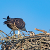 Sunrise_ospreys-3631
