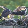 Sunrise_ospreys-3389