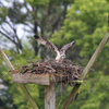 Osprey_chick_ready-4648