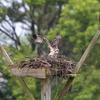 Osprey_chick_ready-4651