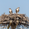 Osprey_chick_ready-4779