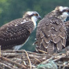 Three_healthy_osprey_young