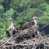 Osprey_mother_with_3_chicks_-_2_clearly_seen_r