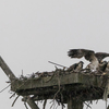 Hazen_nest_during_storm-5335