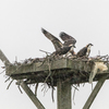 Hazen_nest_during_storm-5308