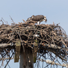 Osprey_chicks_op_ave_nest-5969