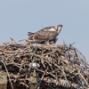 Osprey_chicks_op_ave_nest-5984