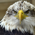 Bald_eagle_-_winter_springs_florida