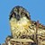 Portrait_of_an_osprey_chick__square_book_(2)