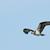 Osprey_test_gm_shutterstock-5