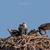 Ospreys_w_chicks_(1_of_1)-3