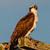 Squareosprey