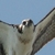 Osprey_and_falcons_211