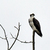 Osprey_colonial_4_24_2018_edited-1-2