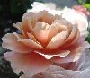 a pink rose in both sun and shade