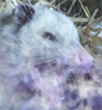 what if an opossum smoked weed