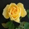 Roberta Bondar rose