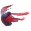 Picture of a betta fish (represents Fish_Echo)