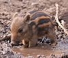 filthy as a baby warthog in mud