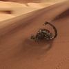 Scorponok in the desert