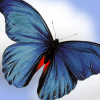 Bright blue butterfly in flight.