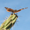 Red Admiral on a Cactus