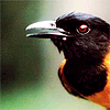 a pitohui