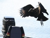 A vulture in mid take-off from a boat.